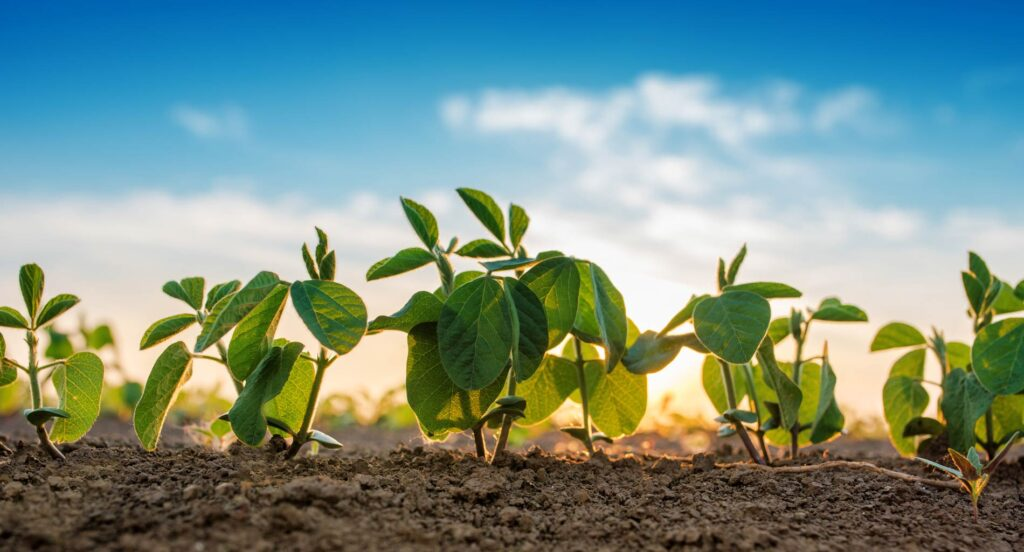 young soybeans