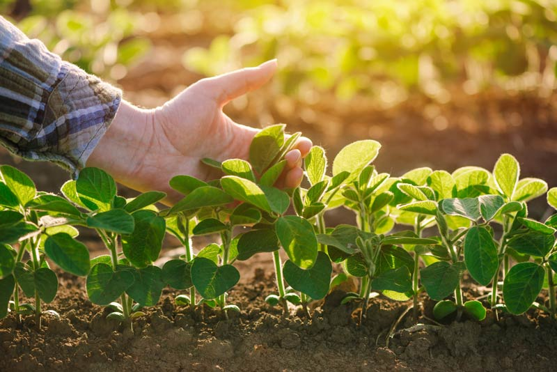 hand with young soybeans